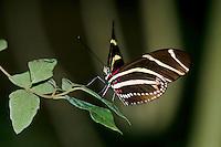 Zebra Longwing Butterfly, Texas