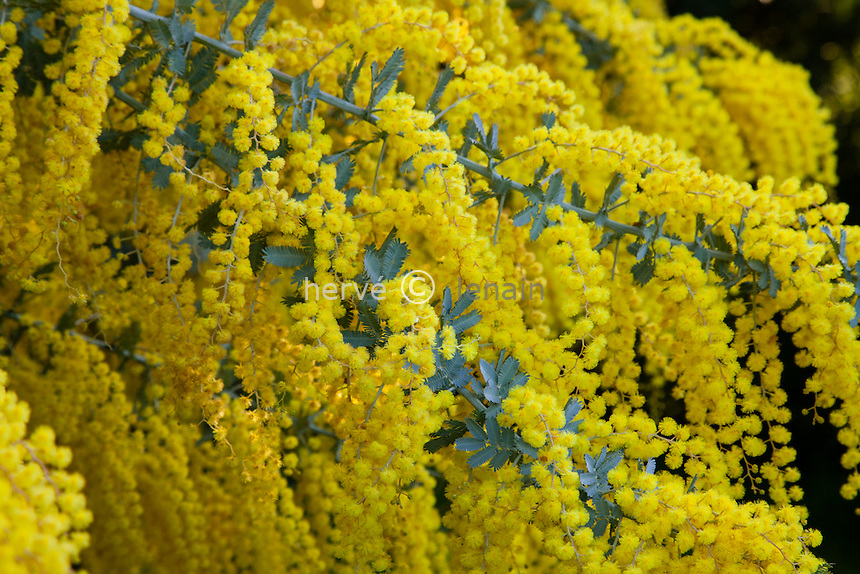 Le domaine du Rayol en f&eacute;vrier : le jardin australien, mimosa en fleurs, Acacia baileyana, mimosa de Bailey. <br /> <br /> (mention obligatoire du nom du jardin &amp; pas d'usage publicitaire sans autorisation pr&eacute;alable)