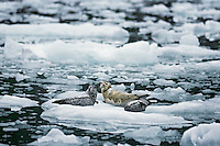 Harbor seals (Phoca vitulina) resting on ice floe, Alaska.