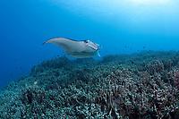 reef manta ray, Manta alfredi, swims over coral reef dominated by finger coral, Porites compressa, Keauhou Bay, Kona Coast, Hawaii Island ( the Big Island ), Hawaiian Islands ( Central Pacific Ocean )