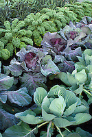 Cool weather crops kale, cabbages, growing in vegetable garden