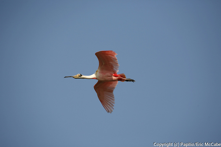 Roseate Spoonbill flying, Ajaja ajaja, Pantanal, Brazil, in flight