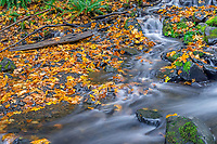 ORCG_D235 - USA, Oregon, Columbia River Gorge National Scenic Area, Starvation Creek State Park, Starvation Creek in autumn with fallen maple leaves, dark volcanic rocks, moss and ferns.