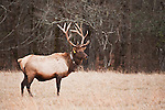 Reintroduced Elk herd, Cataloochee Valley