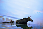 A moose and her calf wade through a lake in Grand Teton National Park, Jackson Hole, Wyoming.