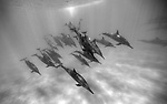 OAHU, HAWAII - MAY 15:   A pod of dolphins swim in Oahu, Hawaii (Photo by Donald Miralle )  *** Local Caption ***