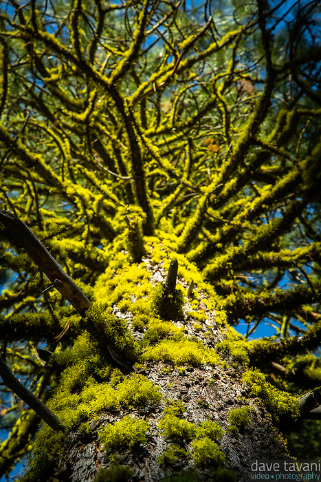 Letharia vulpina, or wolf lichen, grows on a ponderosa pine tree in Lassen Volcanic National Park.