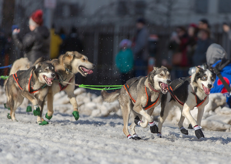 Sled dogs race down 4th Avenue the ceremenial start of the 43rd Annual Iditarod in Anchorage, Alaska. The 1000 mile dog sled race usually restarts in Willow, Alaska, and finishes in Nome. Poor snowfall, however, forced the restart north to Fairbanks.