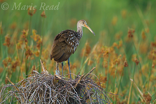 Limpkin (Aramus guarauna), Viera Wetlands, Florida, USA