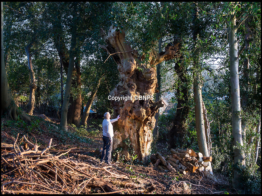 BNPS.co.uk (01202 558833)<br /> Pic: PhilYeomans/BNPS<br /> <br /> Re-discovered in a suburban back garden - is this the Domesday oak that marked the edge of William the Conqueror's New Forest?<br /> <br /> An ancient oak tree that was said to have been used by William the Conqueror as a boundary marker for the New Forest has been unearthed in an overgrown back garden.<br /> <br /> When new homeowner Peter Dibeney decided to tackle the overgrown back garden of his new home in Highcliffe, Dorset, he had know idea of the ancient treasure he would uncover deep in the undergrowth - the 900 year old tree is now thought to be dead, but its wizened trunk still remains. <br /> <br /> The Norman's were known to use prominent oak trees to denote the bounds of their royal hunting estate's because they would stand the test of time.