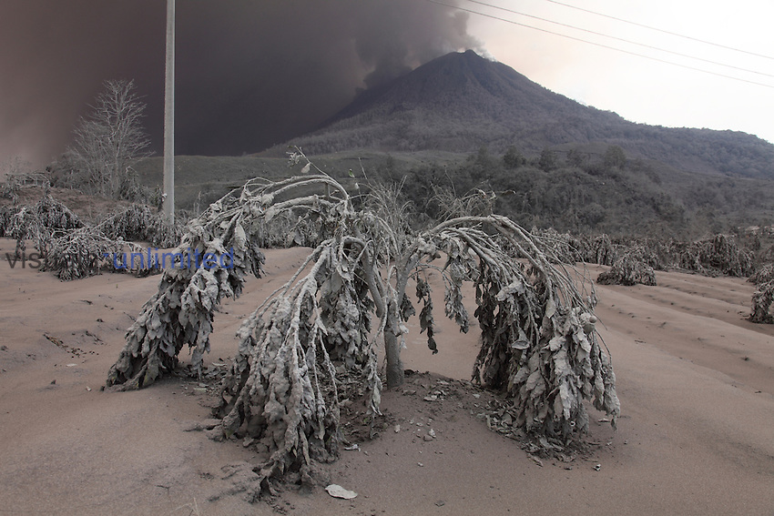 Orange tree damaged by heavy ash fall from Sinabung Volcano, Sumatra, Indonesia