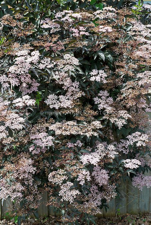 Sambucus nigra Black Lace in bloom