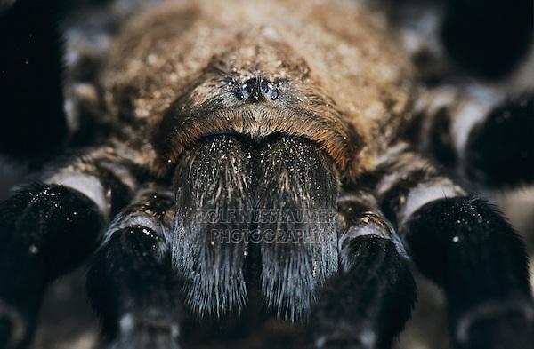 Tarantula, Aphonopelma sp., adult, Starr County, Rio Grande Valley, Texas, USA, May 2002