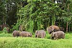 Borneo Pygmy Elephant (Elephas maximus borneensis) herd grazing, Kinabatangan River, Sabah, Borneo, Malaysia