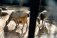 Deer with cut antlers stand in an overcrowded brick and metal enclosure in the Kunming Zoo in Kunming, Yunnan, China.