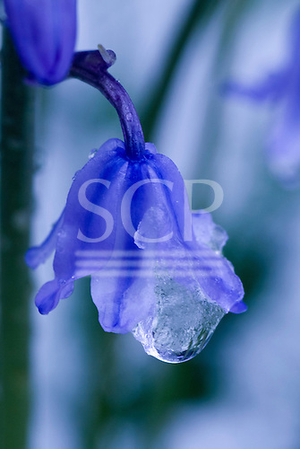 Kingston upon Thames, England. Frosty, snowy day. Ice crystals on a bluebell.
