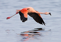 Chilean flamingos are easy to spot in Patagonia thanks to their bright pink plumage.