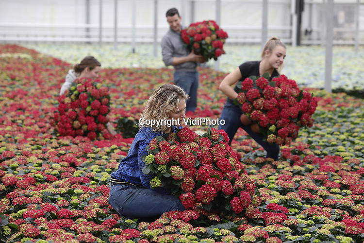 Foto: VidiPhoto<br /> <br /> EST - Kweker Marjanne van den Berg uit Est bij Geldermalsen heeft vrijdag de handenvol aan het verzendklaar maken van haar hortensia&rsquo;s. De drukte neemt de komende weken alleen maar toe, nu Wageningen Universiteit donderdag onderzoeksresultaten heeft gepresenteerd die aantonen dat het ziekteverzuim op kantoor 20 procent lager ligt dankzij planten. Dat komt neer op gemiddeld 1,6 ziektedag minder per medewerker per jaar. Een van de belangrijkste redenen is de hogere luchtvochtigheid. Bij droge lucht hebben werknemers sneller last van griep, vermoeidheid, droge ogen en hoofdpijn. In de wintermaanden zorgt de aanwezigheid planten zelfs voor een forse verbetering van de luchtvochtigheid (17 procent). Uit onderzoek van Fytagoras Plant Science uit Leiden blijkt bovendien dat hortensia&rsquo;s de meeste bijdrage leveren aan het verbeteren van de luchtvochtigheid. Andere positieve effecten zijn onder meer een positievere gemoedstoestand en een hogere tevredenheid over eigen functioneren. Van den Berg verwacht daarom dat de komende weken de vraag naar hortensia&rsquo;s groter zal zijn dan het aanbod.