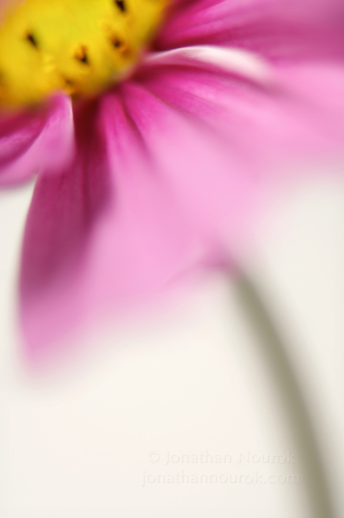 close-up of a pink cosmos flower
