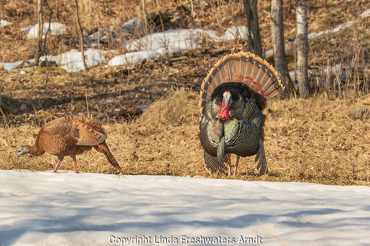 Tom turkey strutting for some hens.