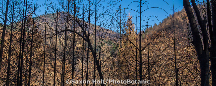 Panorama of scorched hillside seen through burned trees; Delta Fire aftermath; Shasta-Trinity National Forest, California