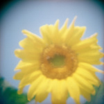 Close up of a blurred Sunflower against blue sky