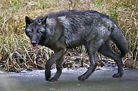 Grey Wolf (canis lupus) trotting along a frozen pond near Kalispell, Montana, USA - Captive Animal