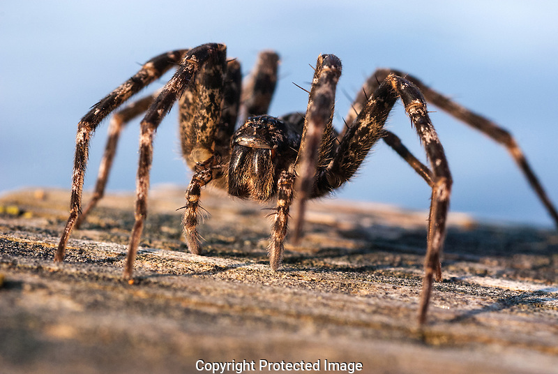 Brownidh-Gray Fishing Spider (Dolomedes tenebrosus) on a dock on Togue Pond, Katadin area of Maine, USA.