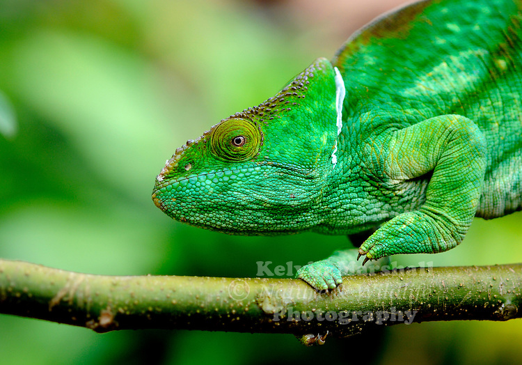 The Parson's chameleon (Calumma parsonii) is a very large species of chameleon that is endemic to isolated pockets of humid primary forest in eastern and northern Madagascar. It is listed on CITES Appendix II, meaning that trade in this species is regulated. As with the majority of chameleon species from Madagascar, it is illegal to import Parson's chameleons from their native country.