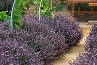 Ocimum basilicum, Basil 'Mountain Magic'; Sunset gardens, Cornerstone, Sonoma