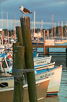USA, Newport, RI - Seagull sits atop pilings with row of lobster boats at state pier in Newport Harbor