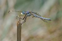 389220006 a wild male comanche skimmer libellula comanche dragonfly perches on a stick along devils river val verde county texas united states