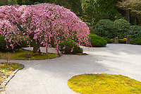 A 100 year old Weeping Cherry Tree (Prunus subhirtella) or Sakura is in full bloom of pink flowers in Spring surrounded by pine trees and azalea bushes in the flat garden of racked sand in the Portland Japanese Garden