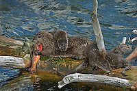Northern River Otter (Lontra canadensis) mother--with young pups-- feeding on cutthroat trout.  Western U.S., summer. .