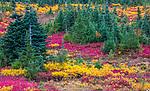 Alpine evergreens in fall, Mount Rainier National Park, Washington, USA