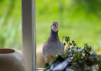 Partridge at a kitchen window, Whitewell, Lancashire.