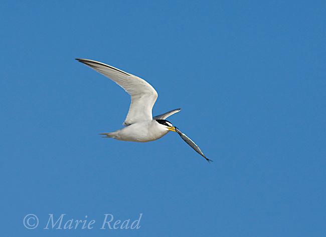 Least Tern (Sterna antillarum), endangered California race, adult carrying fish in flight, Huntington Beach, California, USA