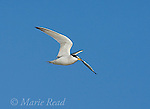 Least Tern (Sterna antillarum), endangered California race, adult carrying fish in flight, Huntington Beach, California, USA