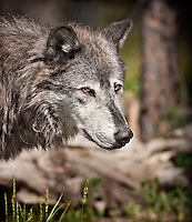 Portrait of a gray wolf, vertical