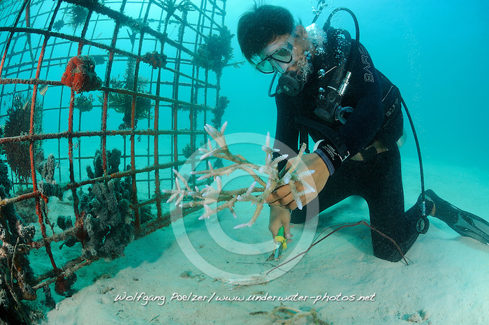 Global Coral Reef Alliance, Riff-Gaertner bindet abgebrochene Korallen auf Kuenstliches Riff, Reef gardener attaching corals to artificial reef, Global Coral Reef Alliance, Pemuteran, Bali, Indonesien, Indopazifik, Bali, Indonesia Asien, Indo-Pacific Ocean, Asia