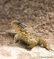 0521-1006  Sungazer Sunning Itself Outside Burrow (Giant Girdled Lizard or Giant Zonure), Cordylus giganteus  © David Kuhn/Dwight Kuhn Photography