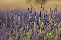 Purple flowers in a lavender field during summer, Valensole, Provence, France.