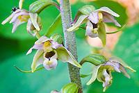Epipactis helleborine orchid flowers