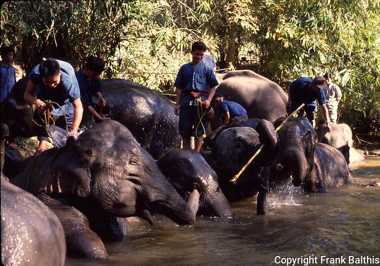 Keepers washing asian elephants near Chiang Mai, Thailand