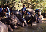 Keepers washing asian elephants near Chiang Mai, Thailand