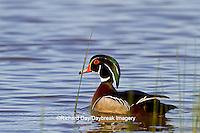 00715-07913 Wood Duck (Aix sponsa) male in wetland, Marion Co., IL