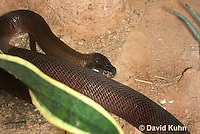 0505-1102  Red Spitting Cobra (African Spitting Cobra), Can Spray Venom, Naja pallida  © David Kuhn/Dwight Kuhn Photography