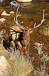 Bull Elk, Gibbon River, Yellowstone National Park, Wyoming