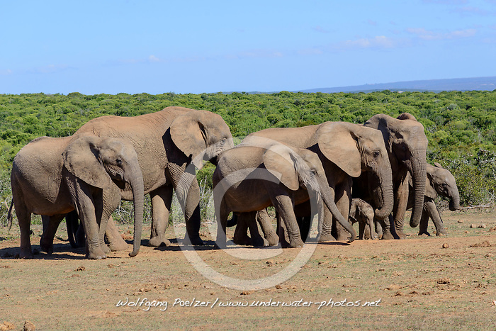Loxodonta africana, Afrikanische Elefant oder Afrikanischer Steppenelefant, Elephantenherde, African bush elephant, Herd of Elephants, Porth Elizabeth, Suedafrika, Addo Nationalpark, South Africa, Porth Elisabeth, Addo Natinol Park