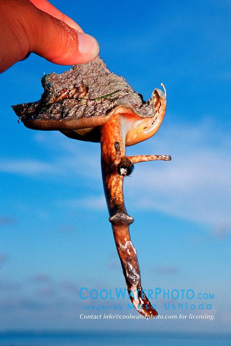 hawkwing conch, .Strombus raninus, .Sands Cut, Biscayne National Park, .Florida (Atlantic).